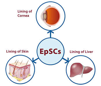 Epithelial Stem Cells